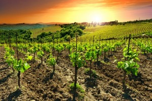 Hill of Tuscany with Vineyard in the Chianti Region, Sunset, Italy